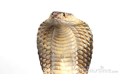King Cobra on white