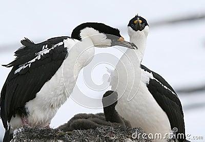 King cormorants