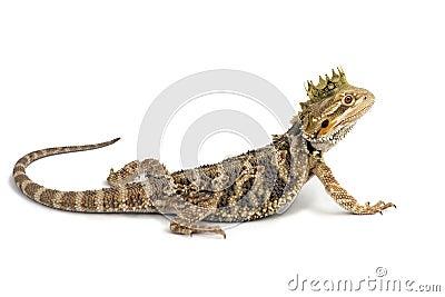 King Drake the Bearded Dragon