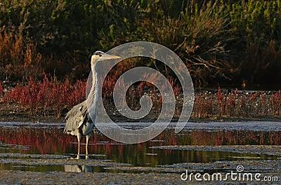 King of marsh