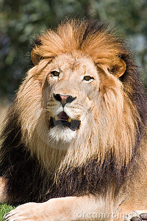 Free King Of The Jungle Royalty Free Stock Image - 9174896