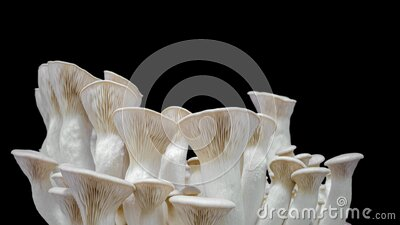 King oyster mushrooms, king trumpet mushroom growing time lapse. On prores 444 alpha channel background