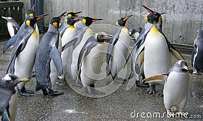 King Penguin 3