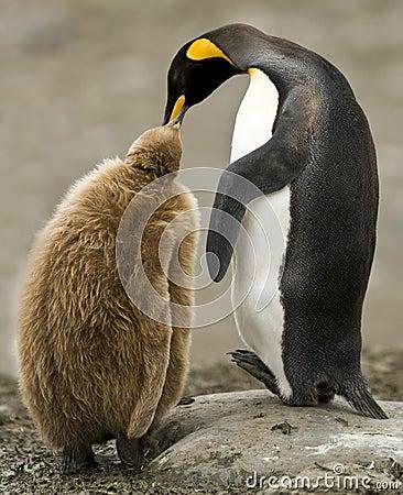King Penguin Adult Feeding Downy Chick