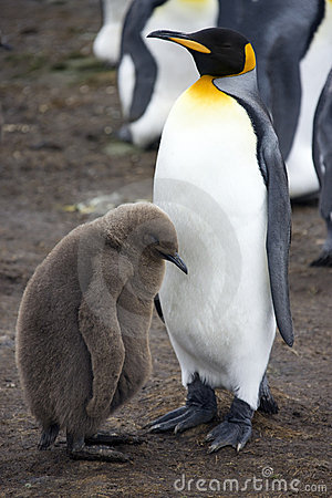 King Penguin & chick - Falkland Islands
