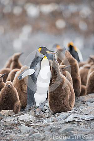 King penguin and chick in South Georgia, Antarctica