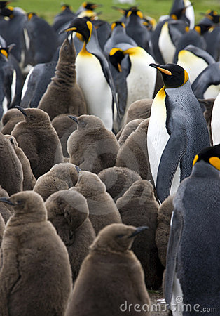 King Penguin Colony - Falkland Islands