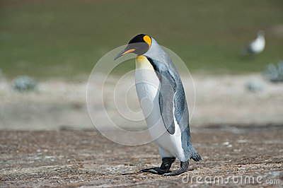King penguin walks thinking.