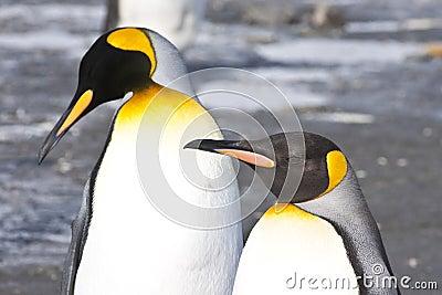 King penguins