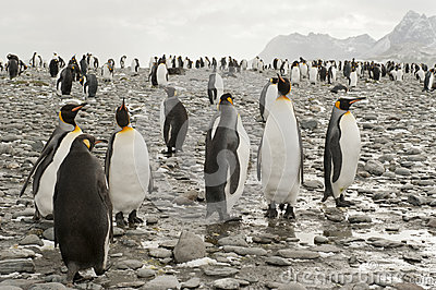 King penguins at the beach of South Geogia