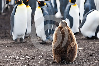 King penguins chick stays