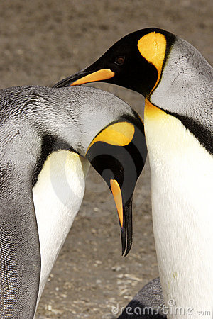 King Penguins Courting
