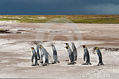 king penguins group