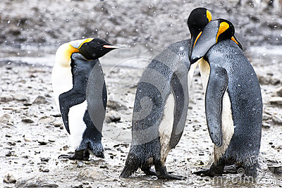King penguins with human gesticulation