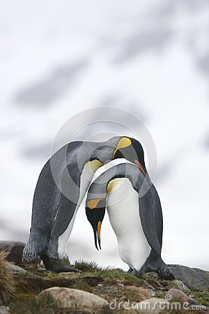 Free King Penguins In Love Stock Image - 95939621