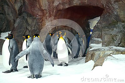 King Penguins Lining Up