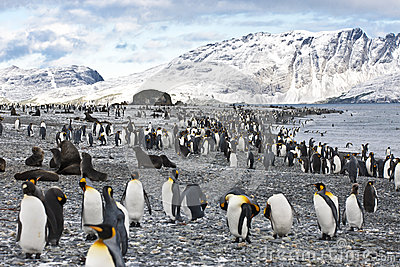 King penguins, mountains, ocean