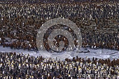King Penguins, St. Andrews Bay, South Georgia
