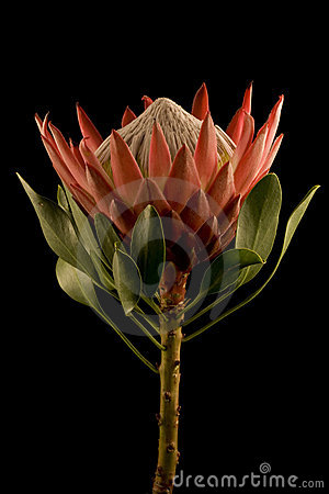 King Protea Side View Isolated Black Background