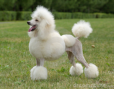 King size white poodle dog portrait