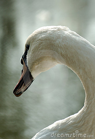 The king swan