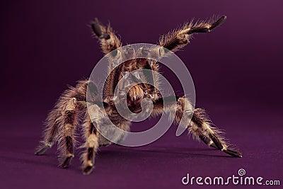 King Tarantula