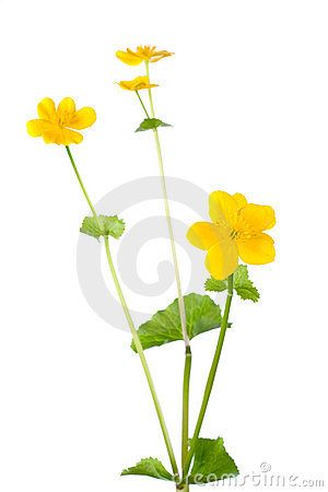 Free Kingcup Flower Isolated On White Stock Images - 11150454