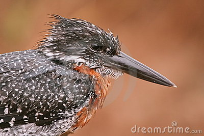Kingfisher
