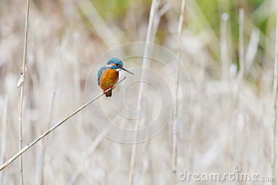 Kingfisher Stock Photo - Image: 28415590