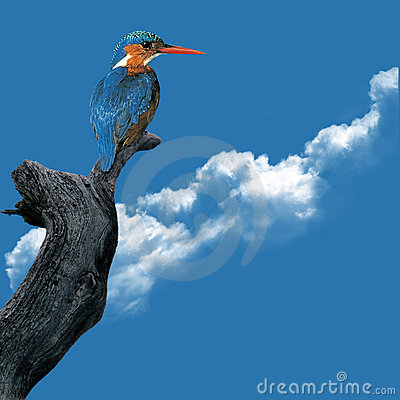 Free Kingfisher Royalty Free Stock Photography - 9086547