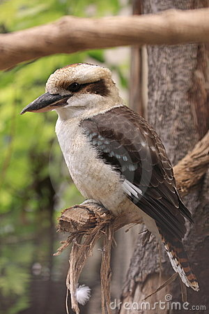 Kingfisher - laughing kookaburra