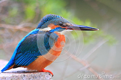 Kingfisher is looking at fish Stock Photo