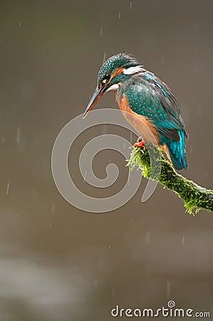 Kingfisher in Rain