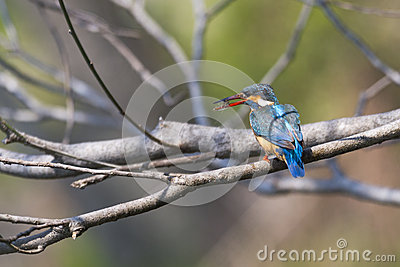 Kingfisher with Shrimp