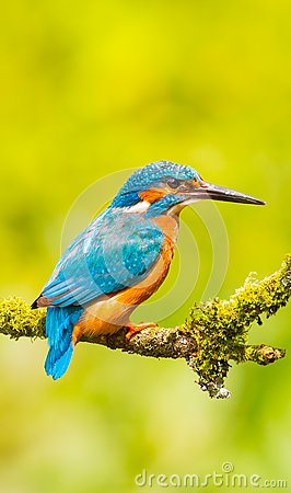 Free Kingfisher Wallpaper Stock Image - 103081551