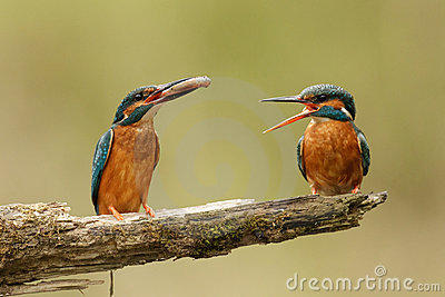 Kingfishers with fish