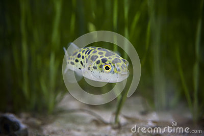Kingkong fish or puffer fish or green bowl fish or Green spotted puffer