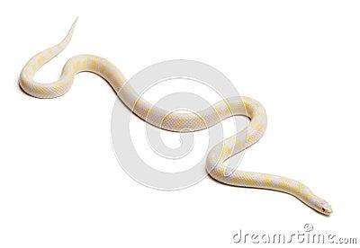 Kingsnake oriental abberant albinos