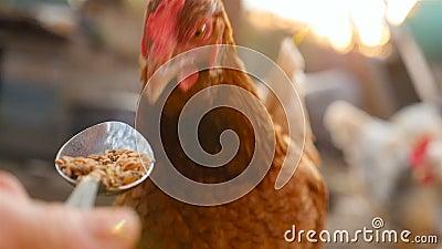Kip eet tarwe uit een keukenlepel Sluiten stock videobeelden