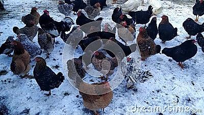 Kippen lopen in de winter door de tuin stock footage