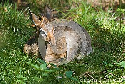 Kirk s dik-dik - small antelope