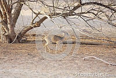 Kirk s Dik-dik, a small antelope