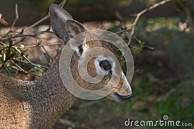 Kirk s dik-dik- small antelope