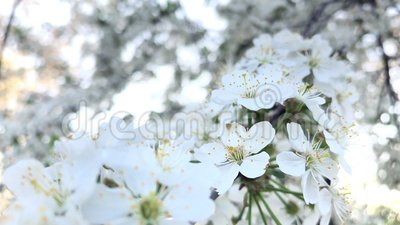 Kirschblüte, die in Wind beeinflußt