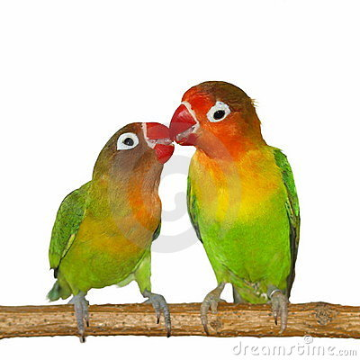Kiss Lovebird isolated on white background