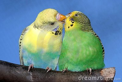 Kissing Budgie Pair