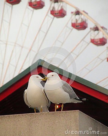 Free Kissing Gulls Stock Photography - 55586882