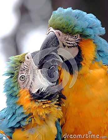 Free Kissing Parrots Stock Photo - 9425430