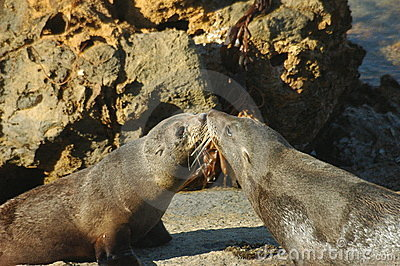 Kissing Seals, new zealand