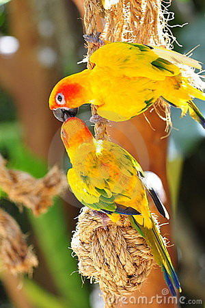 Kissing sun conures